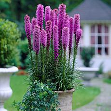 Blazing Star Giant Liatris Spicata - 25 Mammoth Bulbs