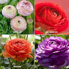 Butter Cups Ranunculus Collection Set of 48 Bulbs