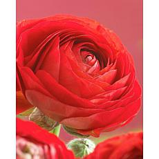 Butter Cups Ranunculus Double Red Set of 25 Bulbs