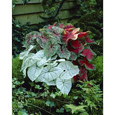 Caladium Fancy Leaf Mixed Set of 12 Bulbs