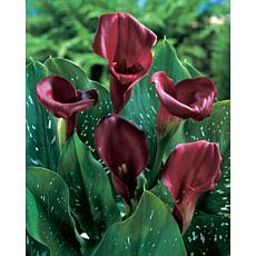 Callas Majestic Red Set of 5 Bulbs