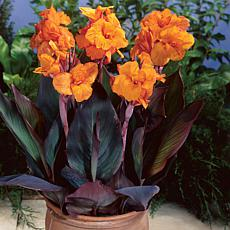 Cannas Bronze Leafed Wyoming Set of 6 Bulbs