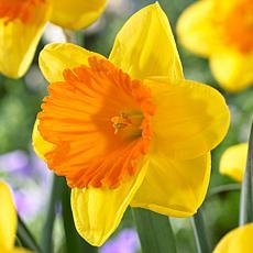 Daffodils Akita Set of 12 Bulbs