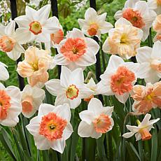 Daffodils Pink Mixture Set of 25 Bulbs