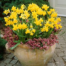 Daffodils Tete A Tete for Containers Set of 25 Bulbs