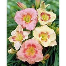 Daylilies Candy Mixed Set of 5 Roots