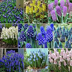 Fragrant Grape Hyacinths For Collectors Set of 100 Bulbs