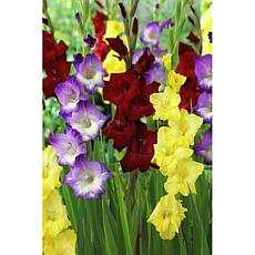 Gladiolus De Luxe Blend Set of 25 Bulbs