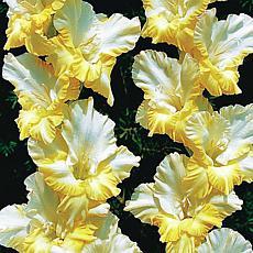 Gladiolus Large Flowering Sunny Side Up Set of 12 Bulbs