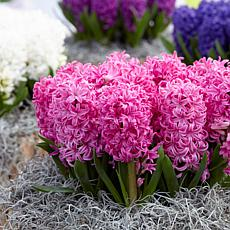 Hyacinths Pink Pearl Set of 10 Bulbs