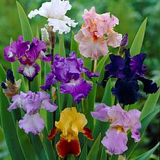 Iris Germanica Breeder's Choice Mixture Set of 5 Roots