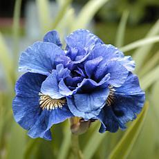 Iris Siberica Double Concord Crush Set of 5 Roots