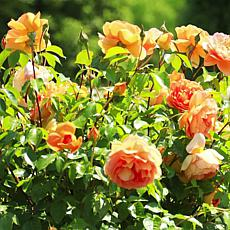 Leaf & Petal Designs 1-piece Bengali Floribunda Roses