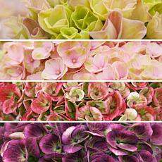 Leaf & Petal Designs 1-piece Pink Revolution Hydrangea