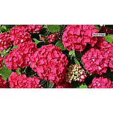Leaf & Petal Designs 1-piece Red Sensation Hydrangea