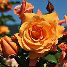 Leaf & Petal Designs 1-piece Tangerine Skies Climbing Rose