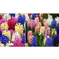 Leaf & Petal Designs 10-piece Hyacinth Mix