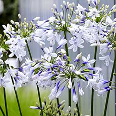 Leaf & Petal Designs 2-piece Twister Bicolor Agapanthus