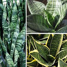Leaf & Petal Designs 3-piece Indoor/Outdoor Snake Plants