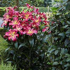 Lilies Mammoth Tall Lilies Empoli Set of 7 Bulbs