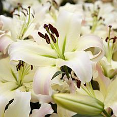 Lilies Mammoth Tall Lilies Pretty Woman Set of 7 Bulbs
