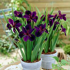 Louisiana Iris Black Gamecock Set of 3 Roots