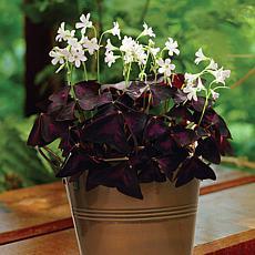 Oxalis Kit with Artisan Decorative Planter