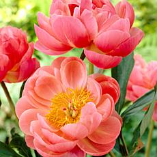 Peonies Coral Charm Set of 3 Root