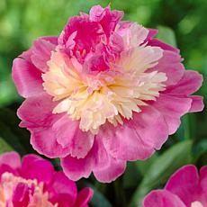 Peonies Gay Paree Set of 3 Roots