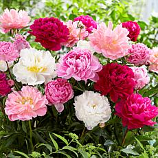 Peonies Mammoth Sized Roots Blend Set of 3 Bulbs