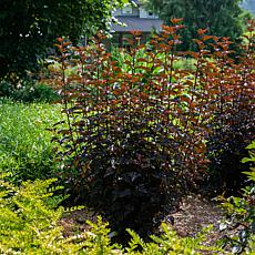 "Physocarpus Panther® 4"" Potted Rocketliners®"