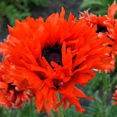 Poppies Ruffled Princess of Orange Set of 3 Roots