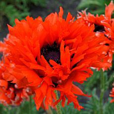 Poppies Ruffled Princess of Orange Set of 3 Roots