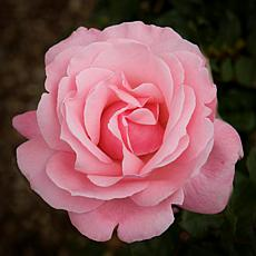 """Queen Elizabeth"" Rose Root Stock"