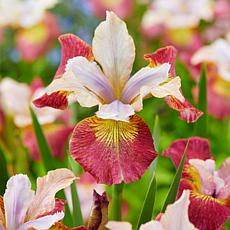 Siberian Iris Sugar Rush Set of 3 Roots