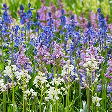 Spanish Blue Bells Mixed Colors Set of 25 Bulbs