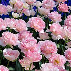 Tulips Angelique Set of 12 Bulbs