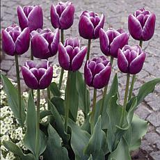 Tulips Arabian Mystery Set of 12 Bulbs