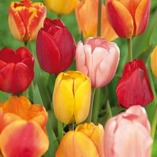 Tulips Darwin Hybrid Mixture Set of 25 Mammoth Bulbs