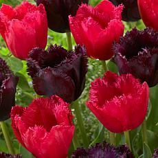 Tulips Havana Nights Blend Set of 15 Bulbs