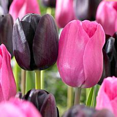 Tulips Lipstick Blend Set of 15 Bulbs