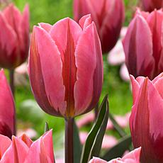 Tulips Pretty Princess Set of 12 Bulbs