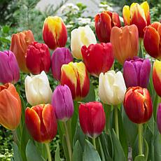 Tulips Triumph Mixture Set of 100 Bulbs