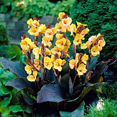 Van Zyverden Cannas Louis Cottin Bulbs 5-pack