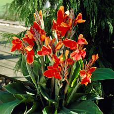Van Zyverden Cannas Rosemond Cole Bulbs 5-pack