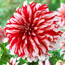 Van Zyverden Dahlias Santa Claus Bulbs 5-pack