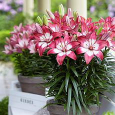 Van Zyverden Lilies Perfect Joy - Set of 7 Bulbs