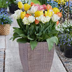 Van Zyverden Tulip Patio Planter Kit w/ Rattan Planter, Medium, Gloves