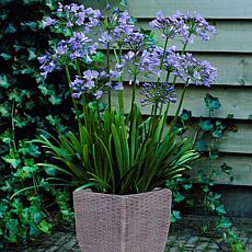 VanZyverden Agapanthus Kit w/ Ratten Planter, Planting Medium and Root