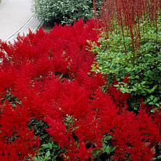 VanZyverden Astilbe Red Sentinel Roots 5-Pack